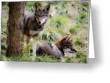 Red Wolves Greeting Card