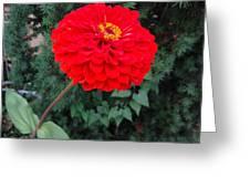 Red Zinnia 2 Greeting Card