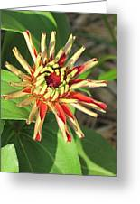 Red Zinnia- Early Bloom Greeting Card