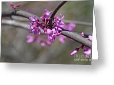 Redbud Blossom Greeting Card