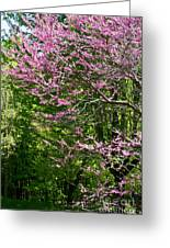 Redbud In The Woods Greeting Card