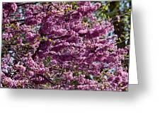 Redbud Tree In Blossom Greeting Card