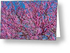 Redbud Tree With Dense Blossoms Greeting Card