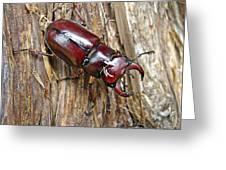 Reddish-brown Stag Beetle - Lucanus Capreolus Greeting Card