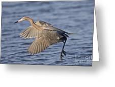 Reddish Egret Dance Fishing Greeting Card