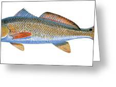 Redfish Greeting Card