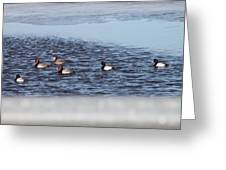 Redhead And Scaups Ducks Greeting Card
