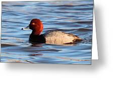 Redhead Drake Greeting Card