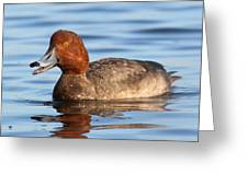 Redhead Duck At St. Mark's Greeting Card