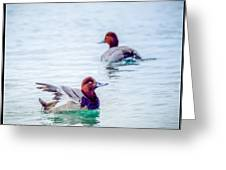 Redhead Ducks Greeting Card