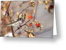 Redpoll In The Rose Bush Greeting Card