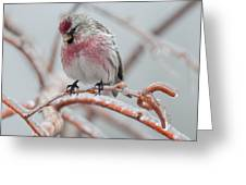 Redpoll Shy Pose Greeting Card