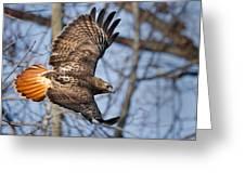 Redtail Hawk Greeting Card
