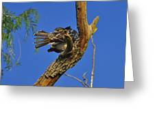 Redtailed Hawk Yearling Greeting Card