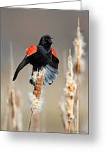 Redwing Blackbird Displaying Greeting Card