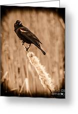 Redwing Blackbird On Cattail Greeting Card