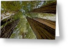 Redwood Canopy Greeting Card