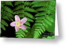 Redwood Sorrel Wildflower Nestled In Ferns Greeting Card