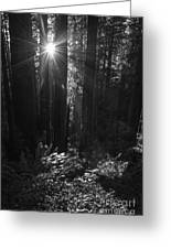 Redwood Sunburst Monochrome Greeting Card