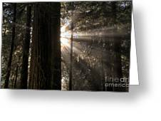 Redwoods First Light Greeting Card