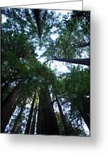 Redwoods II Greeting Card
