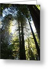 Redwoods IIII Greeting Card