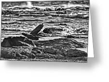 Reef Egret In Flight  Greeting Card