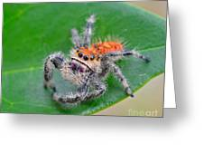 Regal Jumping Spider Greeting Card