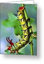 Regal Moth Caterpillar Greeting Card