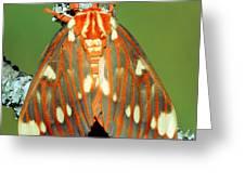 Regal Moth Greeting Card