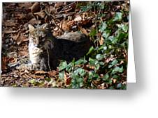 Relaxing Male Bobcat Greeting Card