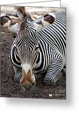 Relaxing Zebra Greeting Card