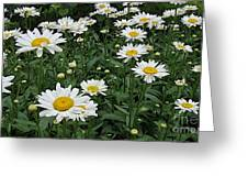 Requested Daisies Greeting Card
