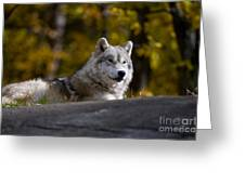 Resting Arctic Wolf On Rocks Greeting Card