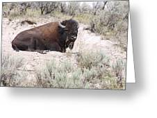Resting Bison Greeting Card
