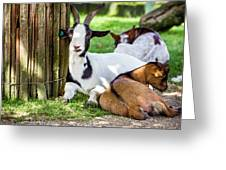 Resting Goats Greeting Card