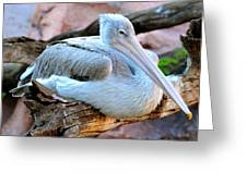 Resting Great White Pelican Greeting Card
