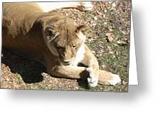 Resting Lioness Greeting Card