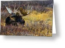 Resting Moose Greeting Card
