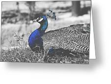 Resting Peacock Greeting Card