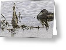Resting Pied-billed Grebe Greeting Card
