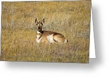 Resting Pronghorn Greeting Card by Sarah Crites