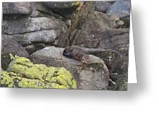 Resting Seal Greeting Card