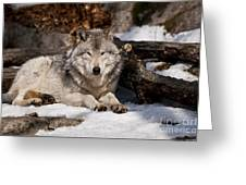 Resting Timber Wolf Greeting Card