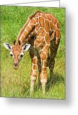 Reticulated Giraffe 6 Week Old Calf Greeting Card