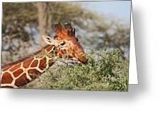 Reticulated Giraffe Browsing Acacia Kenya Greeting Card