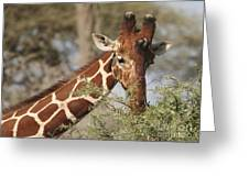 Reticulated Giraffe Feeding On Acacia Greeting Card
