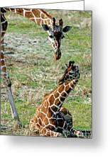 Reticulated Giraffe With Calf Greeting Card