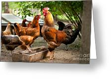 Rhode Island Red Chickens And Wooden Feeder  Greeting Card