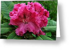 Rhododendron ' Bessie Howells ' Greeting Card